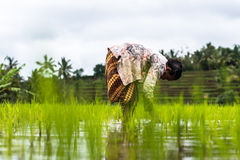 Indonesian farmers rice planting working Royalty Free Stock Photos