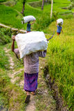 Indonesian farmers at work. Farmers within rice terraces around Tetebatu, Lombok Stock Images
