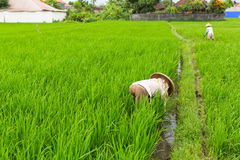 Indonesian farmers working on green rice field. Agriculture. Stock Photo