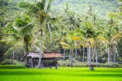 Indonesian local hut rice fields jungles. Asia Royalty Free Stock Photography