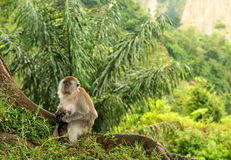 Indonesian Macaque. Monkey in the jungle in Sumatra royalty free stock photos