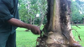 Indonesian man cutting a palm tree in the park. Bali island, Indonesia. Asia stock footage