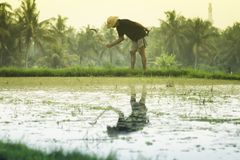 Indonesian man working on rice paddy field at sunset Royalty Free Stock Photos