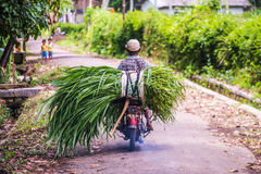 Indonesian men bring grass for his cow with motorcycle Stock Photo