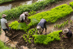 Indonesian men farmers working on a rice terrace in Ubud, Bali Royalty Free Stock Photography