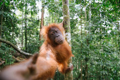 Indonesian orangutang. Indonesian orangutan from North Sumatra. Trying to catch a banana. Climbing a tree while stretching her arm towards me. Looks like she's Stock Images