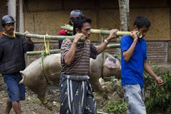 Indonesian people carrying tied porks Stock Photo