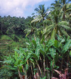 Indonesian Rainforest. Tropical rainforest in Bali, Indonesia royalty free stock photo