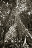Indonesian Rainforest Tree Roots. The large buttress roots of a Dracontomeium dao tree, a giant tropical rainforest tree. Raja Ampat, West Papua, Indonesia Stock Images