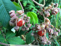 Indonesian Rasberries, Mount Ijen, Java, Indonesia Royalty Free Stock Photos