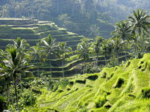 Indonesian rice fields Stock Photos