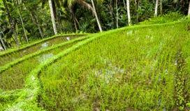 Indonesian rice terrace Stock Image