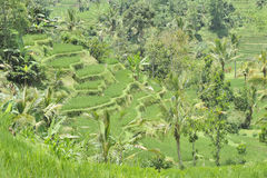 Indonesian rice terraces Royalty Free Stock Image