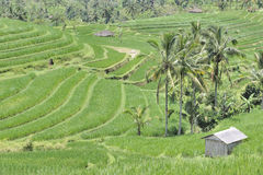 Indonesian rice terraces Stock Images