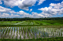 Indonesian Ricefields Royalty Free Stock Images