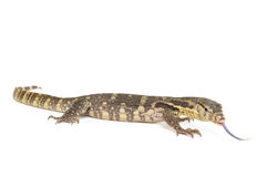 Indonesian Water Monitor Stock Photography