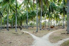 Indonesien bygd med nötkreatur Royaltyfria Bilder