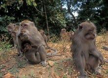 Indonesien: Eine Herde von Pavian-Affen auf Bali-Insel stockfotografie