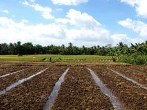 Indonesien-Getreide-Feld Stockfotografie