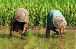 Indonesien, Java: Arbeit im ricefield Stockfotos