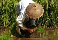Indonesien, Java: Arbeit im ricefield Lizenzfreies Stockbild