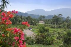 Indonesien _ Molnig dag över de tropiska natur- och risterrasserna Royaltyfri Foto