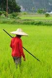 Indonesien, Reis-Arbeitskräfte stockfotos