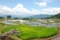 Indonesische padievelden. Sulawesi Stock Fotografie