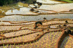 Indonesische ricefield Royalty-vrije Stock Afbeeldingen