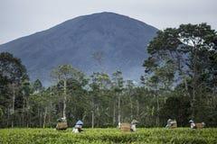 Indonesische Teepflücker lizenzfreies stockfoto