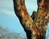 Indonesischer Affe genießen am großen braunen Baum in Nationalpark Baluran, Osttimor stockbilder