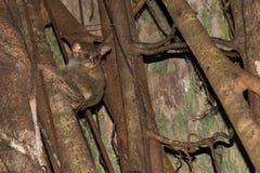 Indonesischer endemischer kleiner nächtlicher Affe des Tarsius Lizenzfreie Stockfotos