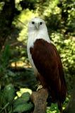 Indonesischer kahler Adler Stockbild