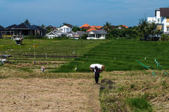 Indonesischer Landwirt, der einen Sack Reis trägt Stockbilder