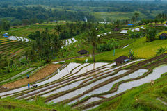 Indonesisches Reisfeld stockfotos