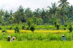 Indonesisk bondeskörd deras skördar royaltyfria bilder