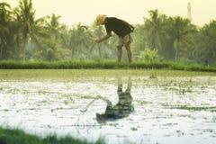 Indonesisk man som arbetar på risfältfält på solnedgången Royaltyfria Foton
