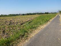 Indonesisk mejerilantgård, ladugård vid fältet av havre arkivfoto