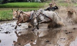 Indonesiska jockeyridningtjurar i lerigt fält i den Pacu Jawi tjuren springer festival Fotografering för Bildbyråer