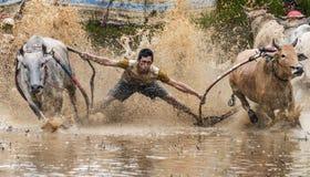 Indonesiska jockeyridningtjurar i lerigt fält i den Pacu Jawi tjuren springer festival Royaltyfri Fotografi
