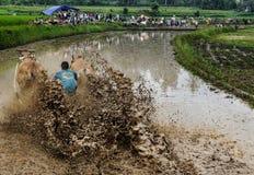 Indonesiska jockeyridningtjurar i lerigt fält i den Pacu Jawi tjuren springer festival, och byfolket tycker om att hålla ögonen p Fotografering för Bildbyråer