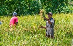 Indonesiska män skördar hans risfält royaltyfria foton