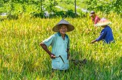 Indonesiska män skördar hans risfält fotografering för bildbyråer