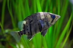 Indonesiska tigerfish & x28; Datnioides microlepis& x29; Fotografering för Bildbyråer