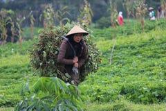 Indonesiskt organiskt lantbruk Arkivfoto