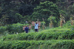 Indonesiskt organiskt lantbruk Royaltyfria Foton