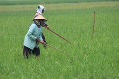 Indonesiskt organiskt lantbruk Arkivbild