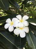 Indonezja, Bali, nusa wyspa, Biały Frangipani - przeczuwa odór! obraz stock