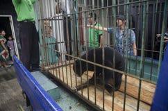 INDONEZYJCZYKA niedźwiedzia ratunek Zdjęcie Royalty Free