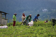 Indonezyjski Organicznie Uprawiać ziemię Obrazy Royalty Free